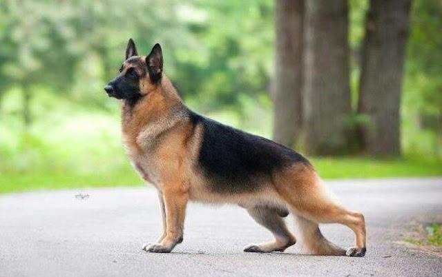 American Show Lines German Shepherds AKC