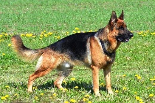 West Show Line German Shepherds
