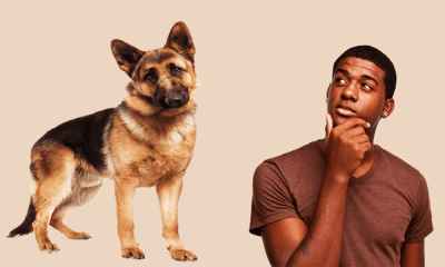 Purity Of German Shepherd Using Dog DNA Test Kits