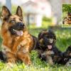 Best German Shepherd Breeders in United States